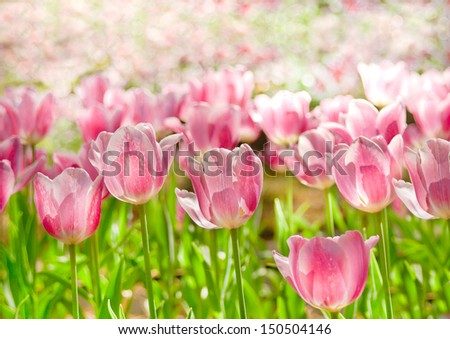 Beautiful pink tulip with bokeh background