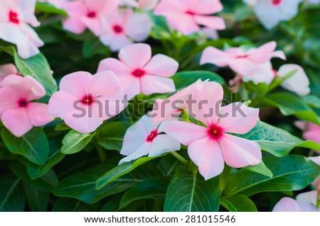 beautiful pink vinca flowers(madagascar periwinkle) - stock photo