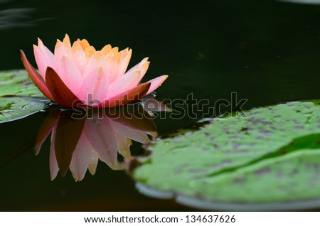 Beautiful  pink water lilly flower - stock photo