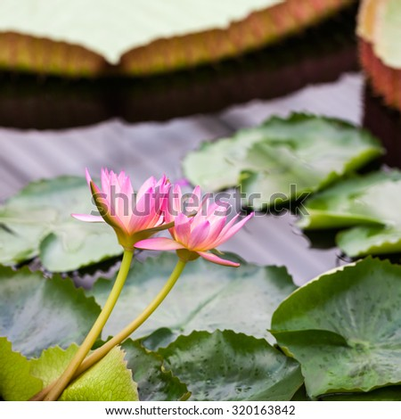 Beautiful, pink water lily from Kew Gardens - beautiful details and colors - stock photo