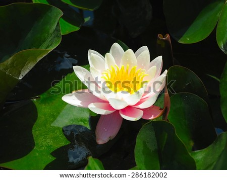 Beautiful pink water lily lotus flower in pond with green leaves - stock photo