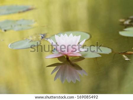 Beautiful pink water lily on the lake - stock photo