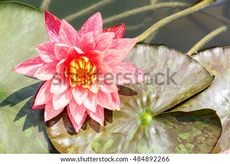Beautiful Pink Waterlily,aquatic plants grow in the pond