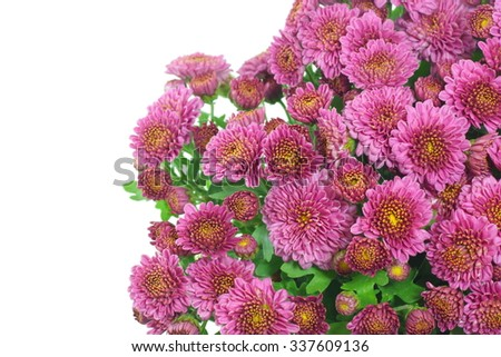 Beautiful pink yellow Chrysanthemums, are flowering plants  for background