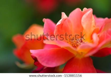 Beautiful pink yellow rose in the garden - Macro shot - stock photo