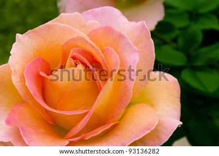Beautiful pink yellowish rose in a garden. Shallow DOF - stock photo