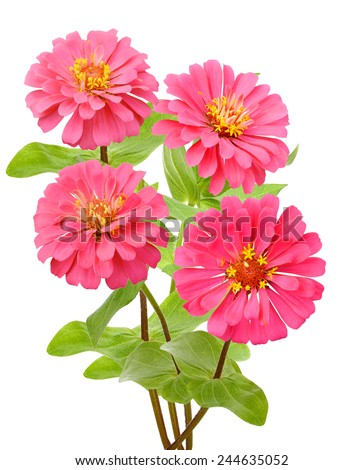 Beautiful pink zinnia bouquet, isolated on white - stock photo