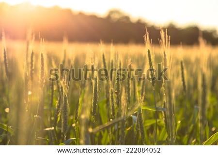 Beautiful plants in a field - stock photo