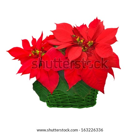 beautiful poinsettia in basket. red christmas flower on white background - stock photo