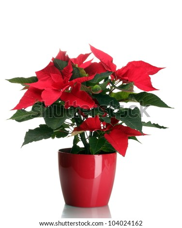beautiful poinsettia in flowerpot isolated on white