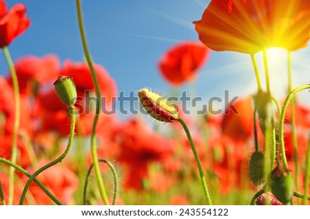 Beautiful poppies bloom and buds amidst poppy fields - stock photo