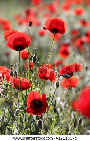 Beautiful poppies in spring with beautiful bokeh, lokal focus, close up shot