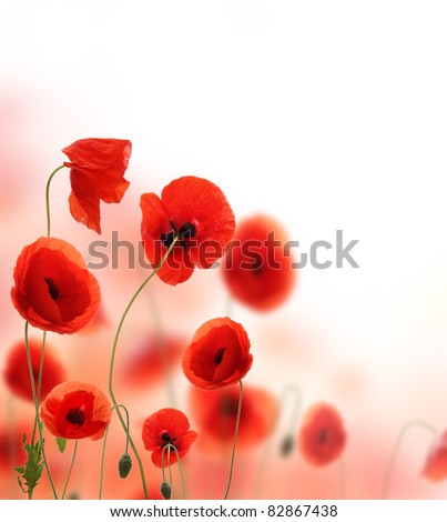 Beautiful poppy background with free space for text.Focused on front flowers. - stock photo