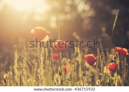 beautiful poppy field with sun rays. Retro style. - stock photo