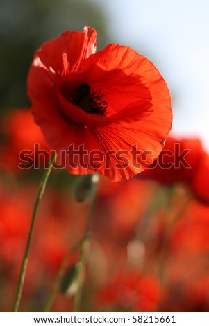 Beautiful poppy flower on the green field in the sunlight - stock photo