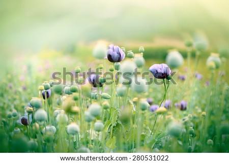 Beautiful poppy flowers - stock photo