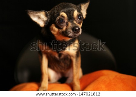 Beautiful Portrait of a Black and Tan Chihuahua - stock photo