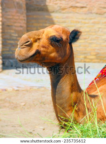Beautiful portrait of a camel sitting near ancient wall in historic center of Khiva, Uzbekistan, Central Asia - stock photo