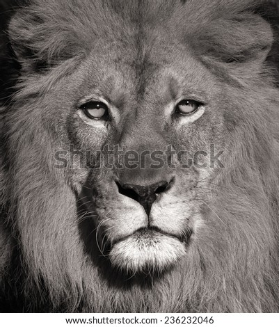 Beautiful Portrait Of a Lion In Black and White - stock photo