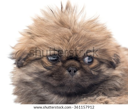 beautiful portrait of a small fluffy puppy - stock photo