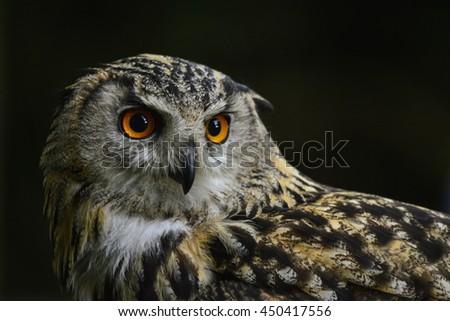 Beautiful portrait of European Eagle Owl bubo bubo - stock photo