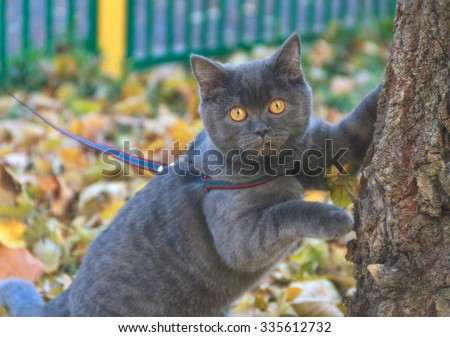 Beautiful portrait of gray scottish cat on a leash walk in the autumn park. Soft focus. Nature background. - stock photo