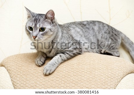 Beautiful portrait of grey cat, Portrait of green-eyed cat isolated on yellow background. Kitten resting on a sofa close up, domestic pet resting  - stock photo