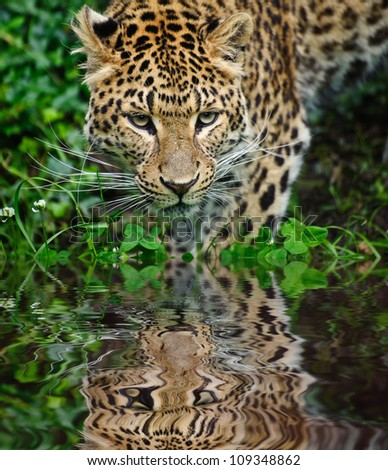 Beautiful portrait of leopard Panthera Pardus big cat amongst foliage in captivity reflected in calm water - stock photo