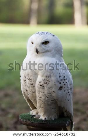 beautiful portrait of  white owl - Snowy owl, Nyctea scandiaca - stock photo