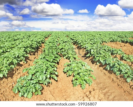 Beautiful potato field - stock photo