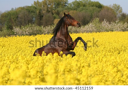 Beautiful prancing horse in colza field - stock photo