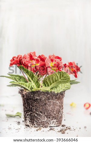 Beautiful primrose with soil on light rustic wooden background, side view. Gardening or flowers potting. - stock photo