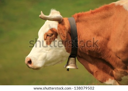 Beautiful profile portrait of a white and brown cow wearing a bell - stock photo