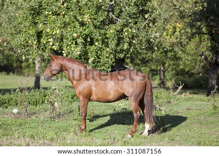 beautiful proud chestnut horse on paddock