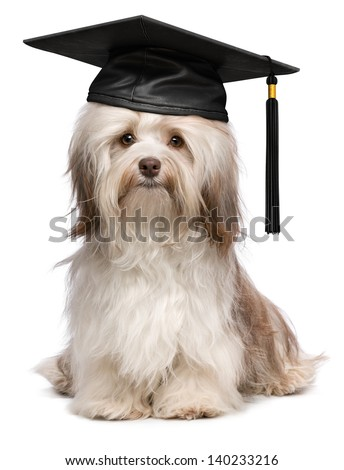 Beautiful proud graduation chocolate havanese dog with black cap isolated on white background - stock photo