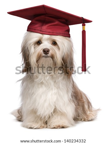 Beautiful proud graduation chocolate havanese dog with red cap isolated on white background - stock photo