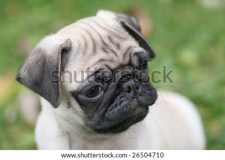 Beautiful Pug - stock photo