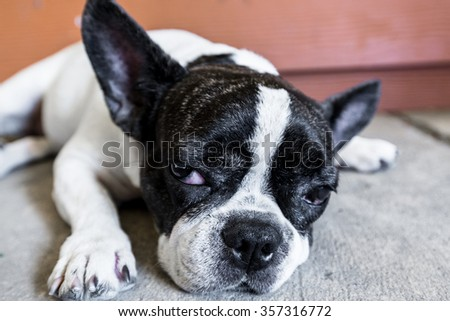 Beautiful Pug puppy with a sad face very serious sleepy. - stock photo