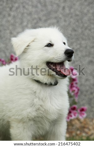 Beautiful puppy of White Swiss Shepherd Dog standing in the garden