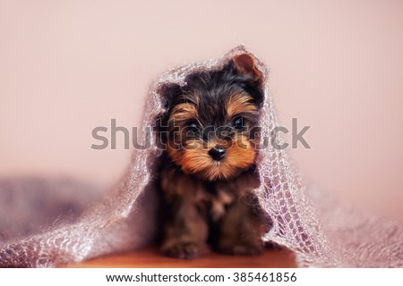 Beautiful puppy sitting under a fluffy scarf. - stock photo