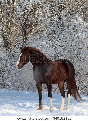 Beautiful purebred bay horse on a winter wood background  - stock photo