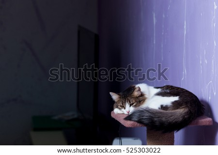 Beautiful purebred cat sitting on a purple background.