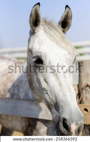 Beautiful purebred horse looking over stable door - stock photo