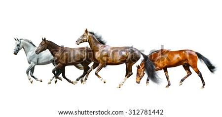 Beautiful purebred horses running isolated over a white background - stock photo