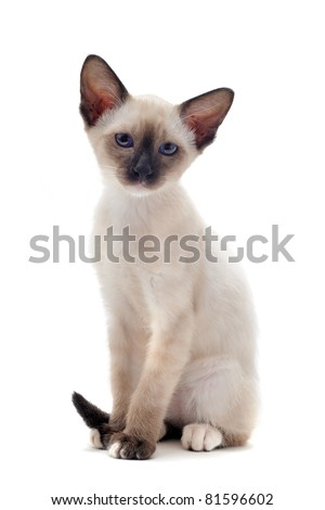 beautiful purebred siamese kitten in front of white background - stock photo