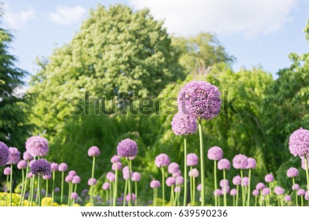 Allium flower purple stock images royalty free images vectors beautiful purple allium flower with green natural background perfect image for pink alliums flowers mightylinksfo Image collections