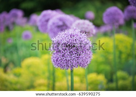 Beautiful purple allium flower green natural stock photo 639590275 beautiful purple allium flower with green natural background perfect image for pink alliums flowers mightylinksfo Image collections