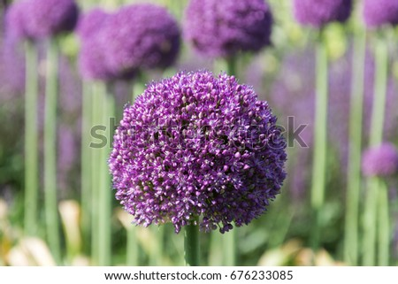 Beautiful purple allium flower green natural stock photo 676233085 beautiful purple allium flower with green natural background perfect image for pink alliums flowers mightylinksfo