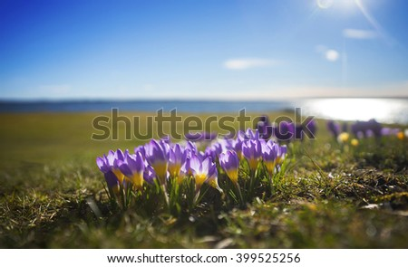 Beautiful purple and yellow crocuses with blue lake and sky in spring - stock photo