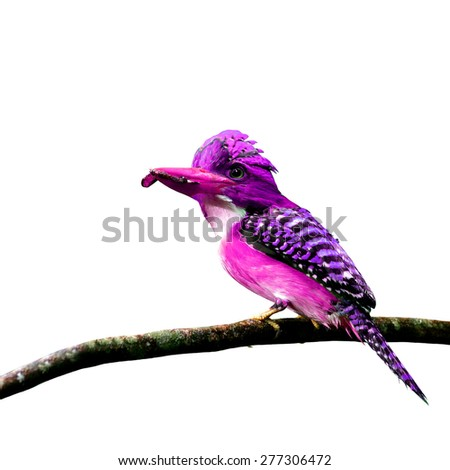 Beautiful purple bird perching on branch isolated on white background - stock photo
